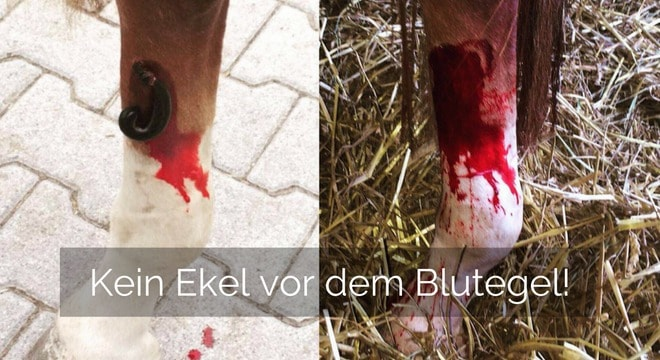Blutegel beim Pferd – Heilende Sauger!