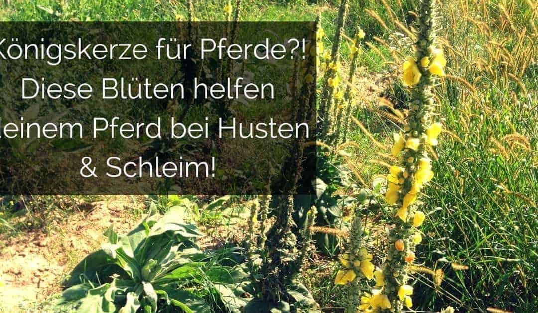 Königskerze für Pferde – diese Blüten helfen deinem Pferd bei Husten & Schleim!